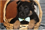 Picture of Adorable akc German shepherd puppy