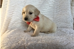 Picture of Adorable AKC registered golden puppy