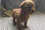 Picture of Adorable mini 1st generation goldendoodle