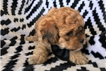 Picture of Adorable havashoo/poodle puppy