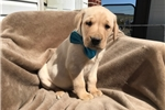 Picture of Cutest Lab Puppy Around