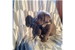 Picture of Gorgeous AKC Silver Lab Puppy
