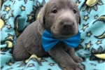 Picture of Adorable ACA Silver Lab Puppy