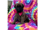 Picture of Rayn (German shephered mastiff)