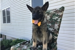 Picture of Brutus AKC