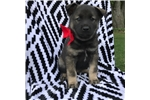 Picture of AKC Norwegian Elkhound (Brutus)