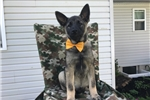 Picture of Brutus (AKC)
