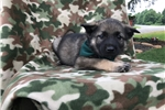 Picture of AKC Norwegian Elkhound (Darby)