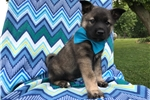 Picture of AKC Norwegian Elkhound (Buster)
