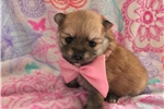 Picture of Adorable Pomeranian puppy