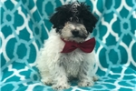 Picture of Charming (Mini Poodle Mix)