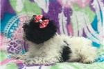 Picture of Princess (Poodle Mix)