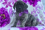 Picture of April (UKC Champion bloodlines)