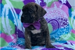 Picture of Juno (UKC Champion bloodlines)