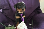 Picture of Beautiful AKC Rottweiler puppy