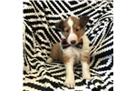 Picture of Adorable ACA sheltie puppy