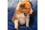 Picture of Adorable ACA reg sheltie puppy