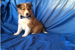 Picture of Adorable ACA reg sheltie puppy