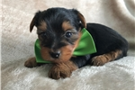 Picture of Adorable Akc Yorkie Puppy