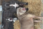 Picture of ADBA registered blue pit bull puppies
