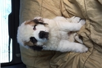 Picture of  CKC Registered Saint Bernard WHITE CLOUD. Male