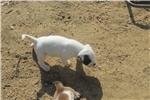 Picture of NKC American bulldog Kiara