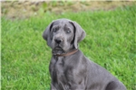 Picture of Male Great Dane