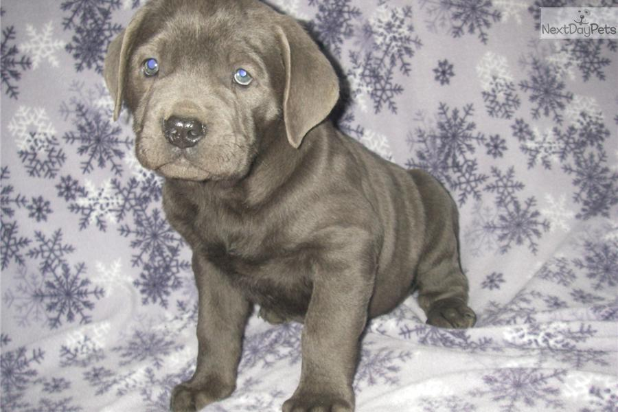 Meet Queen a cute Cane Corso Mastiff puppy for sale for