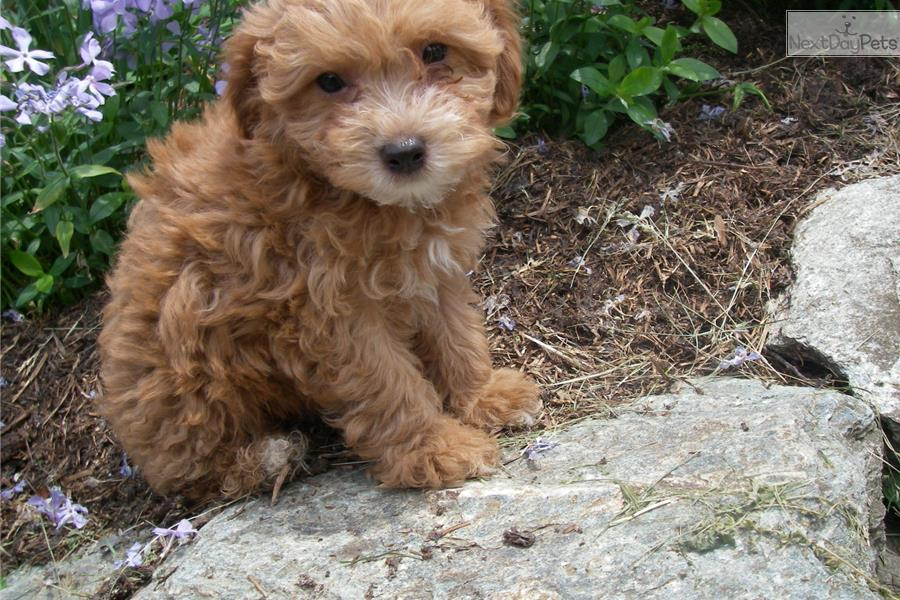 Meet Rocky A Cute Chi Poo Chipoo Puppy For Sale For 150