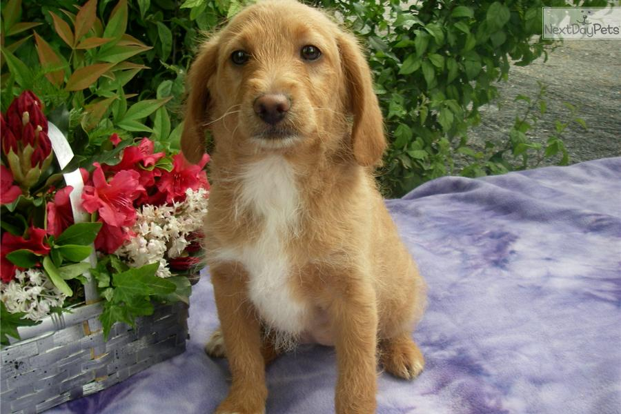 Beagle poodle mix