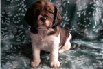 Picture of Clifford-  AKC male