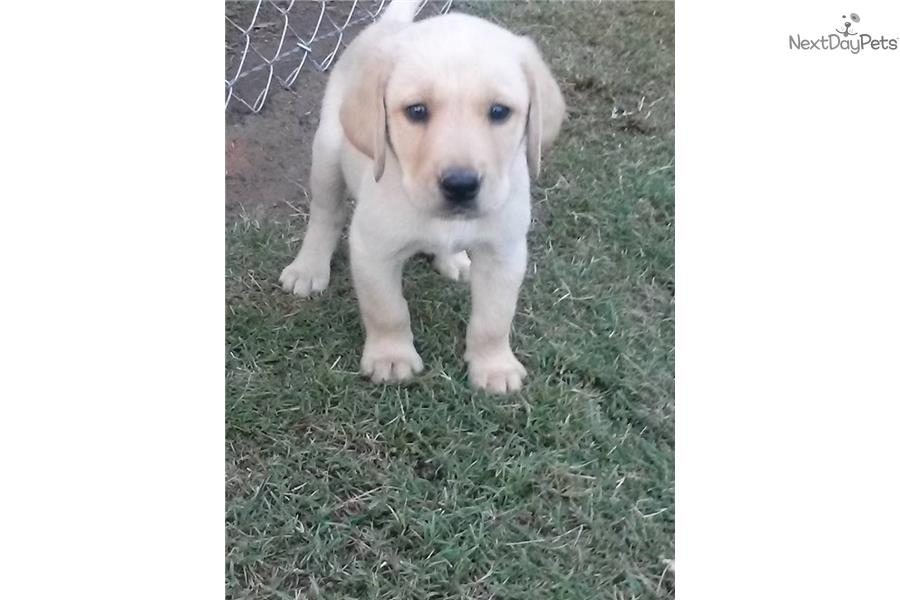 Champ Dogs Labrador Puppies For Sale