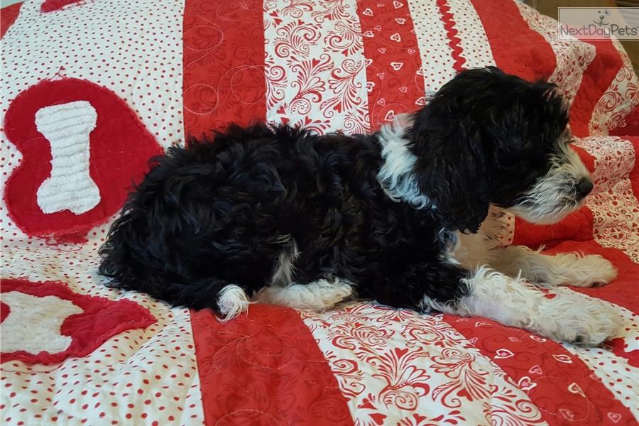 Torrid Zone Portuguese Water Dog Ceece : Portugu...