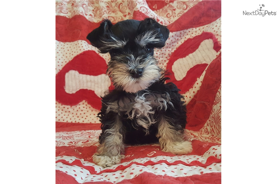 Schnauzer, Miniature puppy for sale near Provo / Orem, Utah | 8c723727 ... Miniature Schnauzer Utah