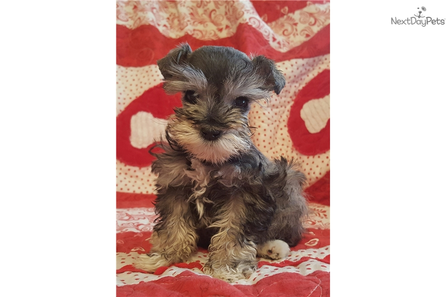 Schnauzer, Miniature puppy for sale near Provo / Orem, Utah | ac5b701a ... Miniature Schnauzer Utah