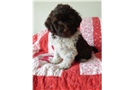 Picture of AKC Izabel Brown and white PWD puppy
