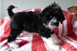 Picture of AKC Edmundo PWD Black and white puppy