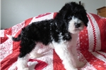 Picture of AKC Davi PWD puppy