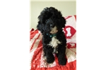 Picture of AKC Leonardo PWD puppy