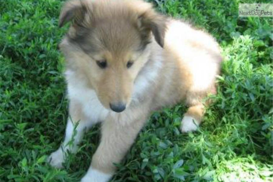 Patricia collie puppy for sale near tulsa oklahoma a05f50b5 1521