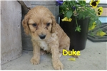 Duke | Puppy at 10 weeks of age for sale