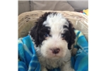 Lagotto Romagnolo Male | Puppy at 8 weeks of age for sale