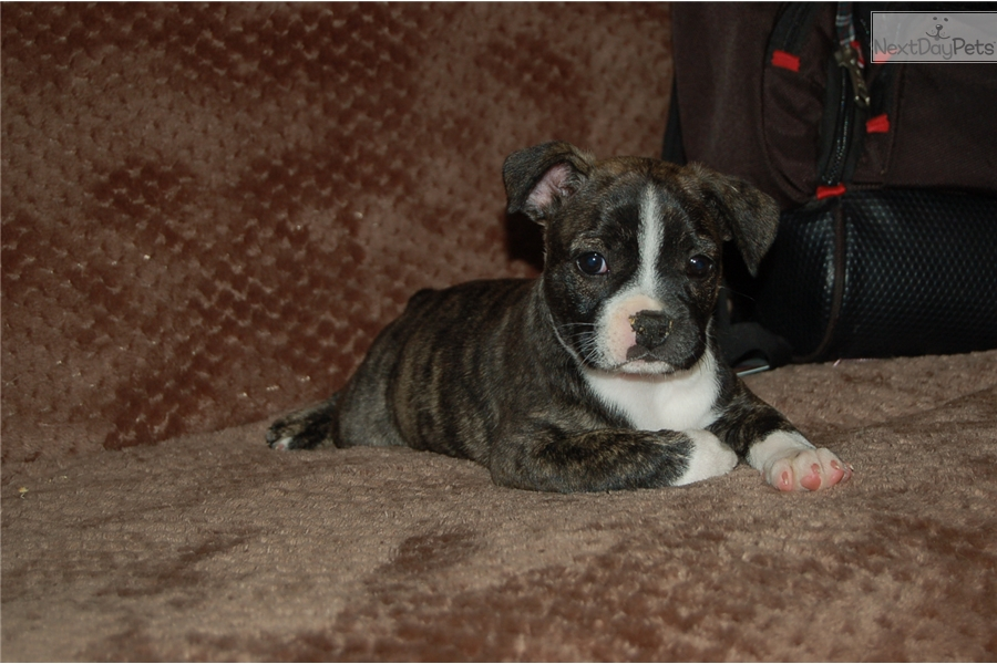 frenchton personals Right breed for you french bulldog information including personality, history, grooming, pictures, videos, and the akc breed standard.