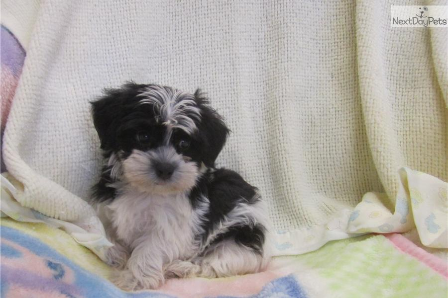 ... Yorktese puppy for sale for $450. Morkie Puppy *Female* Non-Shedding