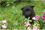 Picture of Teacup Pomeranian puppy