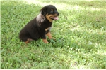 Picture of Rottweiler Puppy