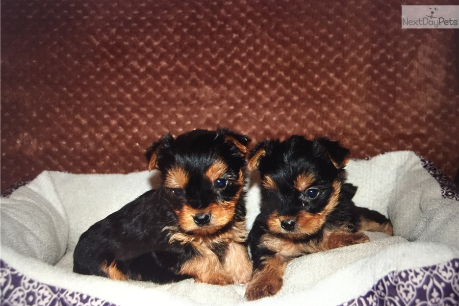 Teacup Yorkies For Sale Chicago Il 160 Akc Teacup Yorkie Puppies