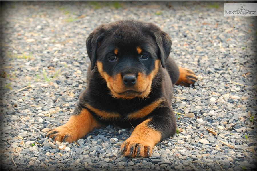 how to take care of a rottweiler puppy