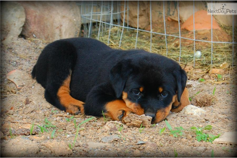 Rottiebear Toy Rottweilers Home Photo | Dog Breeds Picture