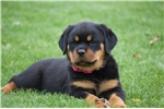 Picture of Gina - Beautiful Female Rottweiler